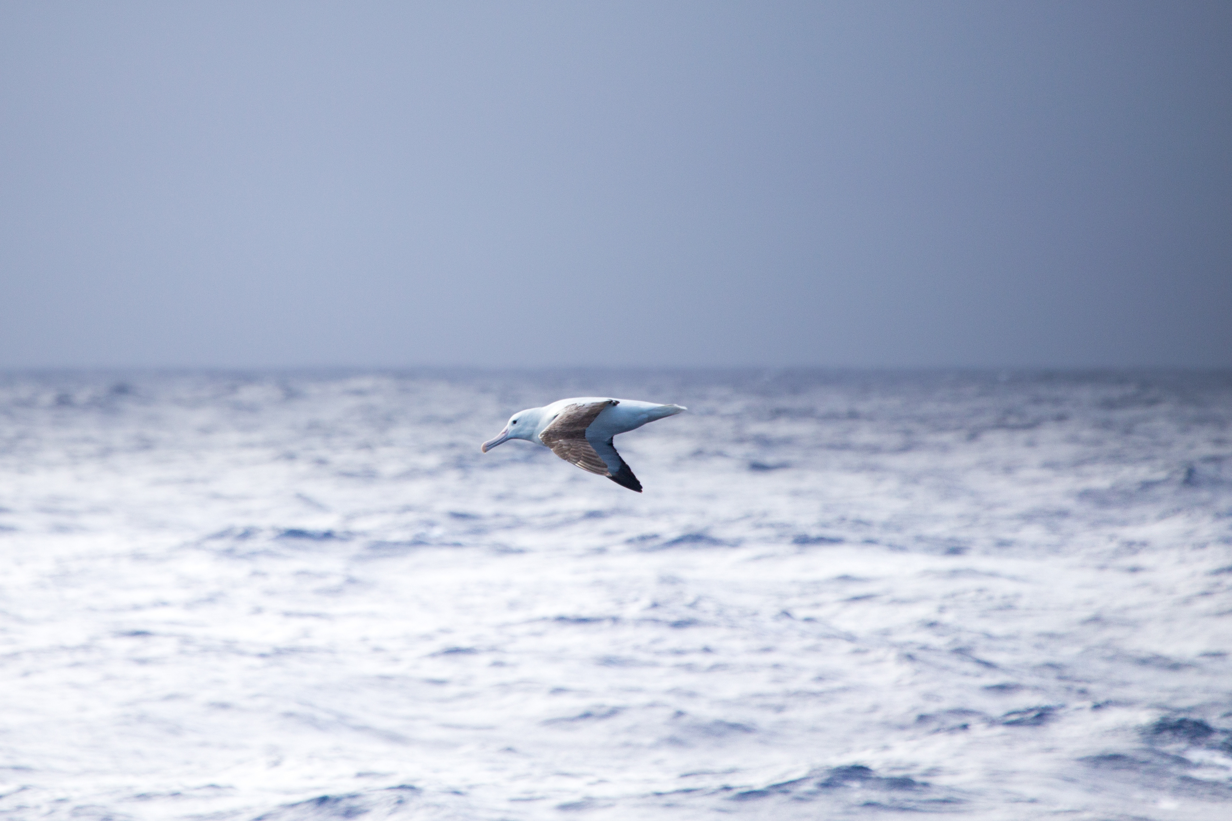 Day-2-Sea-bird-at-Drake-Passage