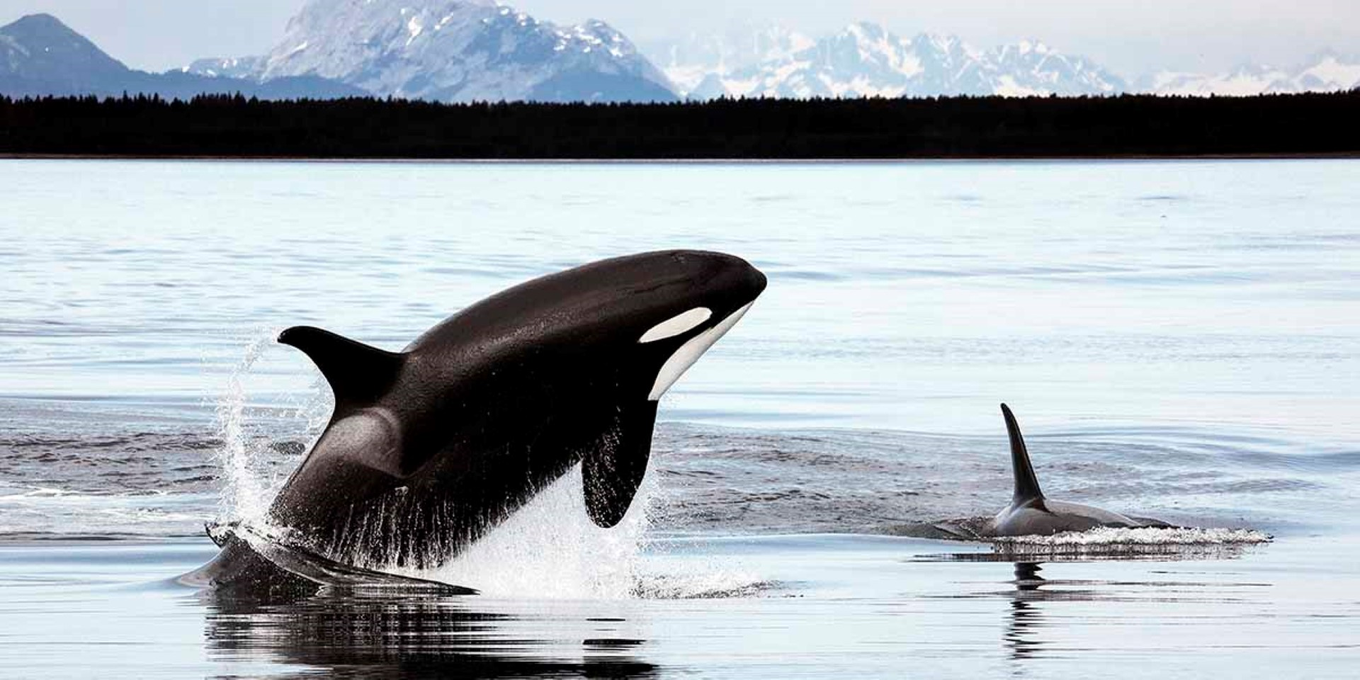 orcas_in_alaskachristopher-pmichel-cc-by-2_0_1200x600