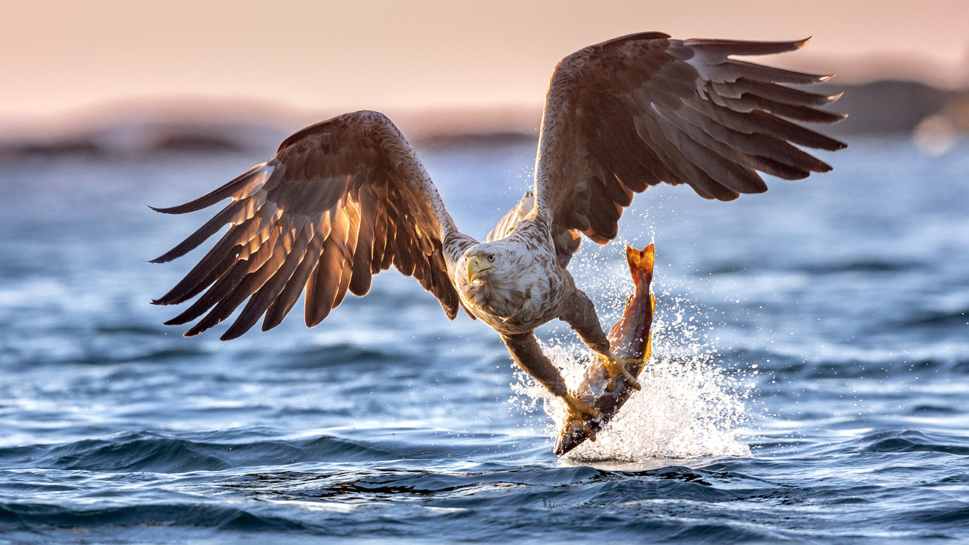 day-8_varlandet_sea-eagle-catching-a-fish_simen-solberg-pedersen_gettyimages