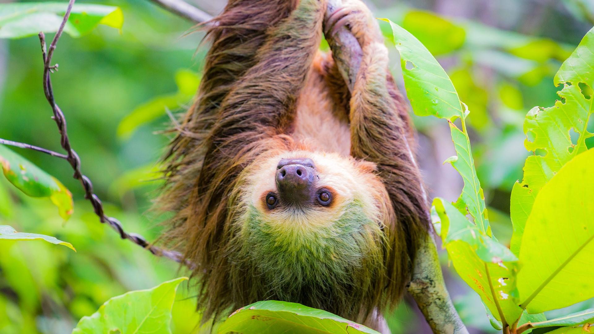 day-9_bocas-del-toro_panama_wild-two-toed-sloth_shutterstock